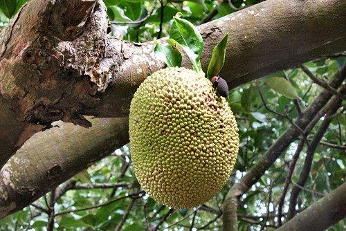 20090612-rq-artocarpush