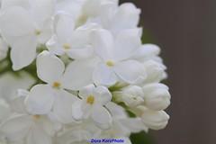 Lilac the purity (Dora Korz- 21 Mpix Photography) Tags: white macro dora lilac perfectpetals wonderfulworldofflowers lidseysflowergroup
