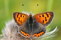 Small Copper butterfly - Amsterdam (IvoMathieuGaston) Tags: orange brown white black color colour macro green colors amsterdam butterfly wings nikon colours copper dots d300 naturegroup smallcopper animalplanetgroup heartawardsgroup butterflycolorgroup naturewatchinggroup eperkegroup flickrstarsgroup freenaturegroup amazingmacrosgroup wonderfulworldofmacrogroup natureisallgroup butterfliesgroup worldofanimalsgroup nikonflickrawardgroup smallcreaturesgroup loverofnaturegroup fotografiagroup artofimagesgroup colourartawardsgroup themagicofcolorgroup fotosconestilogroup exquisiteworldofnaturegroup lovetheworldofnaturegroup sensationalcreationsgroup macrosdenaturalezagroup beautifulshotgroup spectacularinsectsgroup macroworldgroup flowersinsectsandbutterfliesgroup greatbutterflycollectiongroup creativemomentsgroup butterflybeautygroup dutchnaturegroup naturephotographygroup elshowdelmacrogroup naturescreationsgroup butterflygallerygroup