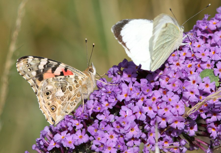 Painted Lady and Large White