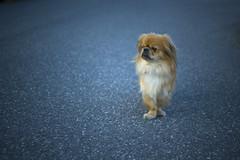 Enzo (Wiciwato) Tags: road dog pet animal 35mm nikon dof small enzo nikkor 18 asphalt afs d40 neightbourhood