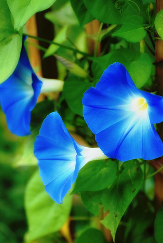 フリー画像| 花/フラワー| 朝顔/アサガオ| ブルー/花|        フリー素材|