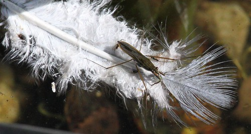 Pond Skater on a Floating Feather