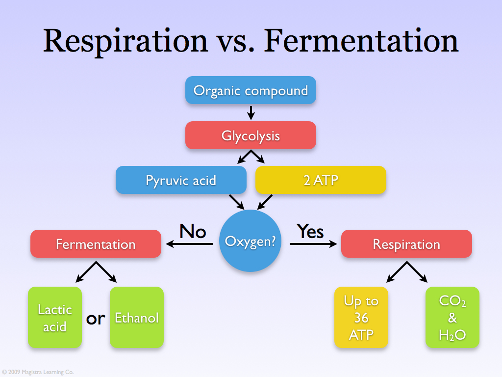 aerobic respiration in yeast Yeast can respire in both ways yeast gets more energy from aerobic respiration, but when it runs out of oxygen it does not die it can continue to respire.