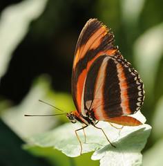 [フリー画像] [節足動物] [昆虫] [蝶/チョウ]        [フリー素材]