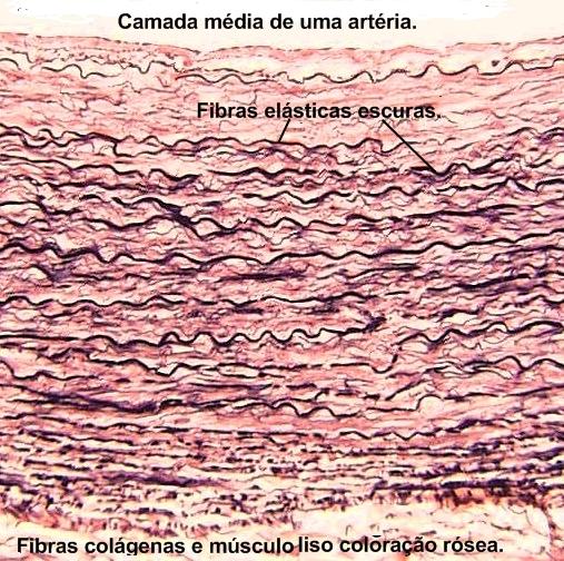 Camada média de artéria