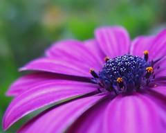 stars in the center (Darwin Bell) Tags: flower macro purple daisy africandaisy scotts tmba colorphotoaward platinumheartaward