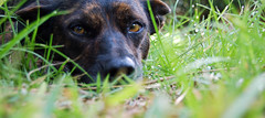 The Odd Dog ... (Lady Drummond) Tags: dog brown white mountain green nature grass animals canine infrared brindle cur concordians
