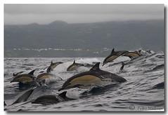 Delphinus delphis (PedroMadruga) Tags: