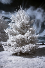 Christmas Tree (vintod) Tags: christmas blue trees horses bw horse cloud baby white snow black cold tree cute love ice nature sunglasses animal pine sepia clouds barn fence fur ir island person glasses vineyard vines infant long child carriage brother farm country north goat vine fork winery evergreen crop grapes infrared fir crops icy grape tone hdr wineries tonemapped tonemapping tonemap