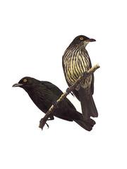 Sali (Micronesian Starling)