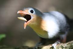 Mr.Worm....get in my belly! (San Diego Shooter) Tags: wallpaper bird birds sandiego sandiegozoo desktopwallpaper malkoha redbilledmalkoha birdeatingworm sandiegodesktopwallpaper