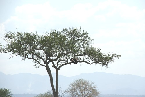 Martial Eagle attacking young Impala - 13 - Mikumi NP, Tanzania