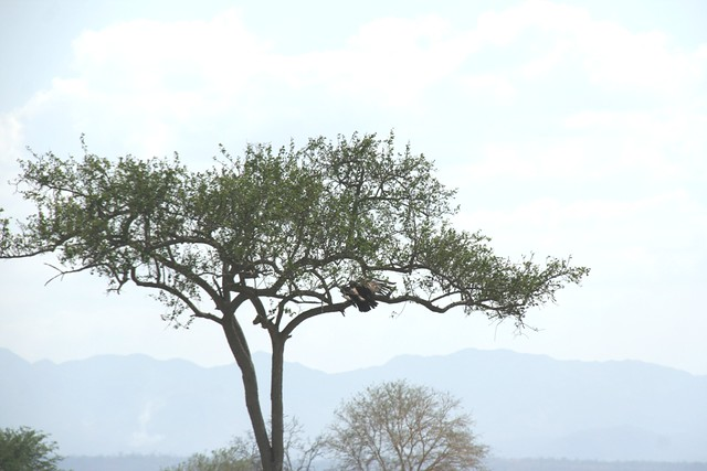 Martial Eagle attacking young Impala - 13 - Mikumi NP, Tanzania