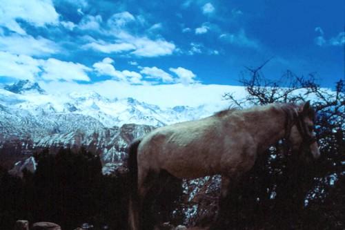 Damodar Pony