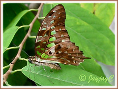 Graphium agamemnon (Tailed Jay) at our backyard, October 8 2009