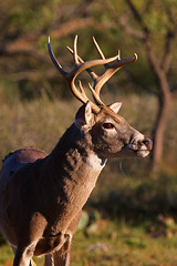 Hill Country Whitetail Deer - Bucks