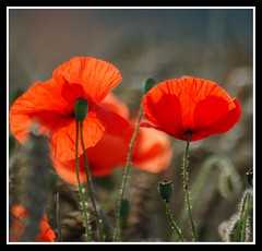 Poppy Day (Explored......Front Page!) (Levels Nature) Tags: uk flowers red england flower nature day sunday somerset explore poppy poppies remembrance frontpage remembrancesunday westonzoyland poppyday saariysqualitypictures