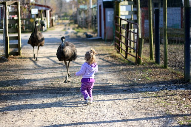 abby walking towards emus