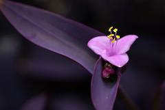 macro fleur flower Serres d'Auteuil-01 (Cyrille Bailly) Tags: paris flower macro fleur 50mm pentax flash sigma spot f35 100iso sigma50macro k10d serresauteuil