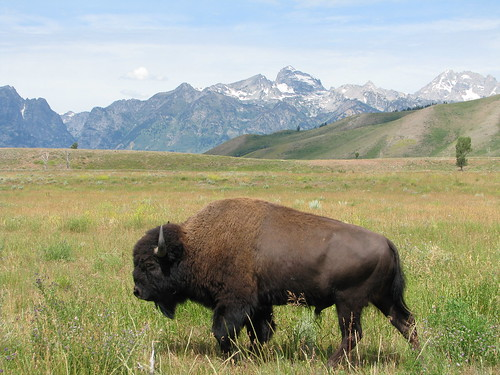 the wandering bison