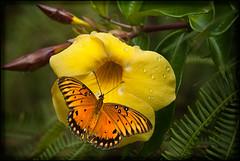 Passion on yellow (TT_MAC) Tags: nature butterfly searchthebest wildlife maui yellowflower 1001nights gulffritillary agraulisvanillae bej mywinners anawesomeshot cameradeourobrasil diamondclassphotographer flickrdiamond natureselegantshots platinumpeaceaward passionbutterfly newgoldenseal theoriginalgoldseal