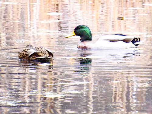 broadmoor mallards dappled light