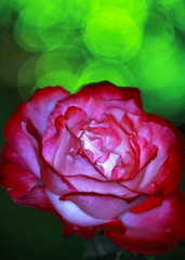 Rose (♥ Spice (^_^)) Tags: park pink november red plants flower color macro green art nature rose japan night canon garden dark geotagged photography eos photo petals interesting asia flickr colours image bokeh wordpress picture vivid blogger livejournal explore photograph collections 日本 vox 花 自然 緑 植物 gettyimages facebook 光 friendster multiply 影 写真 赤 twitter キャノン canoneos7d twitpic マクロ 2009年 ダーク ボケ カラー