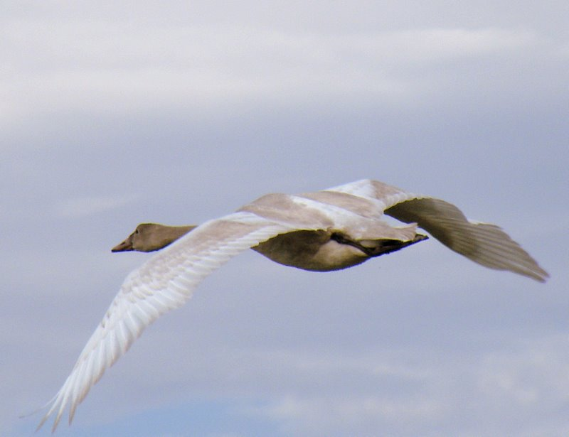 A young tundra swan takes flight