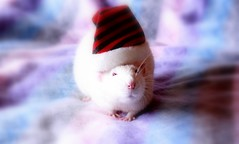 Mommy, don't you think that this cap is too big for me? (Honey Pie!) Tags: cute rat gorro linus moustache explore cap bigode albino fofo fancyrat ratazana rubyeyes explored olhosvermelhos
