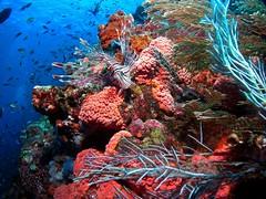 Lionfish (northwest diver) Tags: ocean sea coral photography nikon marine underwater scuba diving reef lionfish venomous invertebrates pterois