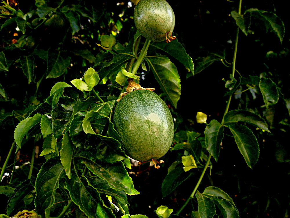23-05-2011-passiflora-fruit-growing