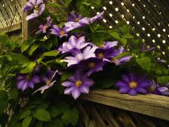 The Color Purple (jumpinjimmyjava) Tags: life plant flower nature sunshine fence clematis vine jlbrown jumpinjimmyjava