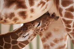 2014-03-06-11h49m40.272P2159 (A.J. Haverkamp) Tags: amsterdam zoo thenetherlands giraffe artis dierentuin httpwwwartisnl canonef100400mmf4556lisusmlens dob01032014