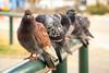 The Sentinel (alavrapalavra) Tags: pigeon city look watching guard flock flickrestrellas stare park bird telaviv