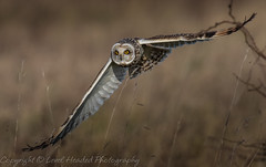 Short eared owl (Asio flammeus) Best viewed large (hunt.keith27) Tags: westonsupermare talons bird feathers wings quartering asioflammeus shortearedowl inflight owl eyes beautiful magnificent medium sized owls pale underwings yellow hunting mammals especiallyvoles