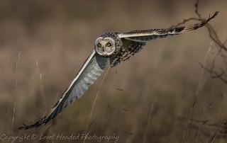 Short eared owl (Asio flammeus) Best viewed large