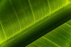 The Aura Of Life (J Swanstrom (Check out my albums)) Tags: leaf green vein texture macro dof bokeh blur light transparent translucent nature abstract summer bright diagonal vibrant growth photosynthesis environment lush nikon d750 jswanstromphotography extensiontubes