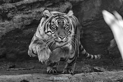 Manis  ♀ - Pouncing (Belteshazzar (AKA Harimau Kayu)) Tags: manis zoo tiger cat asian asiancat bigcats sumatran pantheratigrissumatrae animal sumatratiger tigredesumatra суматранскийтигр tygrsumaterský tygryssumatrzański sumatraansetijger szumátraitigris uenozoologicalgardens tigre тигр tygr tijger tigris fuengirola spain ueno 수마트라호랑이 苏门答腊虎 虎 tokyo hổsumatra sumatrakaplanı เสือโคร่งสุมาตรา सुमात्रनवाघ სუმატრისვეფხვი טיגריססומטרה harimausumatera ببرسوماترایی predetor beast carnivorous flesheating tiikeri sumatrantiikeri the spaniard mr wonderful hypnotic portrait brytne toronto rengat kali amanandawoman einmannundeinefrau unhombreyunamujer unuomounadonna גברואישה unhommeetunefemme мужчинаиженщина enmanochenkvinna зоопарк уэно bouy melancholy sweet