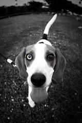 Choco the Beagle (DSLR_MANIA) Tags: park dog pet beagle river eos canine korea terrier seoul desaturation desaturated southkorea choco han selective   canonef15mmf28fisheye ef15mmf28fisheye aplusphoto eos1dmark3 canon1dmark3 dualeyes dslrmania canon1deos1d dualeyecolors doublecoloreyes