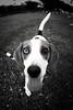 Choco the Beagle (DSLR_MANIA) Tags: park dog pet beagle river eos canine korea terrier seoul desaturation desaturated southkorea choco han selective 초코 한강공원 canonef15mmf28fisheye ef15mmf28fisheye aplusphoto eos1dmark3 canon1dmark3 dualeyes dslrmania canon1deos1d dualeyecolors doublecoloreyes