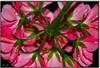 Ritorna me (LaDy.X) Tags: pink fab flower macro green water turn back drops nikon mywinners abigfave impressedbeauty ultimateshot diamondclassphotographer flickrslegend theperfectphotographer
