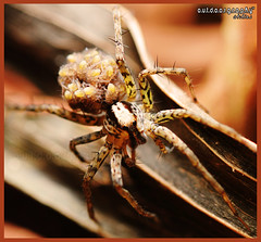 Mother's Love #1 (Sir Mart Outdoorgraphy) Tags: macro fauna magazine insect flora education nikon photographer bokeh outdoor best micro malaysia penang indah wolfspider butterworth mmt unik serangga nikonian d90 littlespider sp90 menarik tamronsp90 nikonuser jurugambar macrolife penangflickr sirmart outdoorgraphy penangflickrgroup malaysianmacroteam sp90sb900d90 spiderwithyounglings spiderwitheggsack