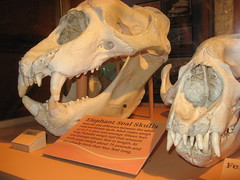 Elephant seal skulls (Swanton, California, United States) Photo