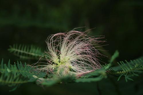 mimosa fluff