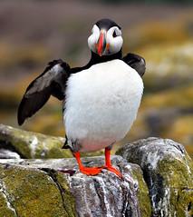 Puffin (Aimee Goold) Tags: bird nature islands wings rocks wildlife puffin farne farneislands seabird nikond90 flickrunited