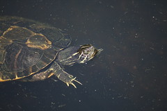 220 (sc photo1) Tags: canon is turtle 55250