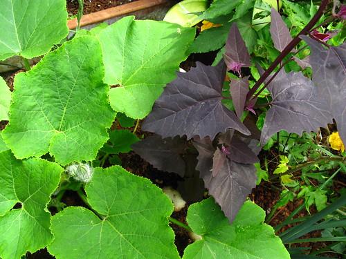 2009-08-01 garden; squash + Atriplex hortensis