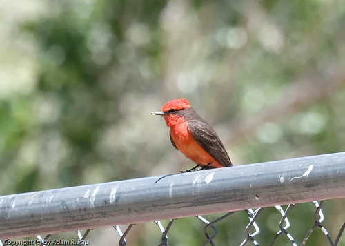 Vermillion Flycatcher by you.