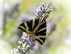 7463- Papillon de nuit (moth) dans mon jardin !! 蛾 나방 轻便铁路蝴蝶站 Ecaille chinée